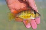 Thumbnail for fwcichlids1542147002