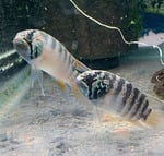 Thumbnail for fwcichlids1569292519