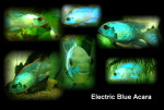 Thumbnail for fwcichlids1571849340
