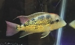 Thumbnail for fwcichlids1572137431