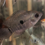 Thumbnail for fwcichlids1574107804
