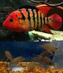 Thumbnail for fwcichlids1597286016