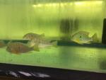 Thumbnail for fwcichlids1632889807