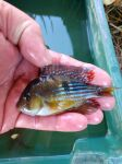 Thumbnail for fwcichlids1634480406