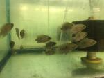 Thumbnail for fwcichlids1635026403