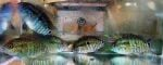 Thumbnail for fwcichlids1635108027