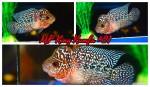 fwflowerhorn&1542415192 Thumbnail