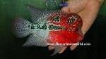 fwflowerhorn&1542503945 Thumbnail