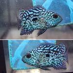 fwflowerhorn&1576748959 Thumbnail