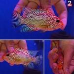 Thumbnail for fwflowerhorn1593829324