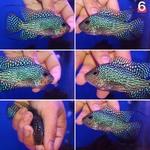 Thumbnail for fwflowerhorn1593830116