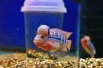fwflowerhorn&1597080618 Thumbnail