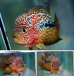 fwflowerhorn&1597683011 Thumbnail