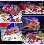 fwflowerhorn&1607149801 Thumbnail