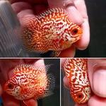 Thumbnail for fwflowerhorn1627996216