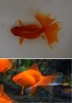 fwgoldfish&1556377543 Thumbnail