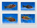 Thumbnail for fwgoldfish1571895002