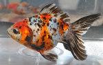 Thumbnail for fwgoldfish1583785142