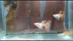 fwguppies&1542490212 Thumbnail