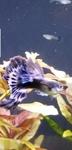 Thumbnail for fwguppies1618543333