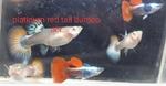 fwguppies&1631951414 Thumbnail
