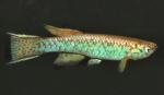 Thumbnail for fwkillifish1534284110