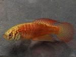 fwkillifish&1534340409 Thumbnail