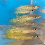 fwkillifish&1534567284 Thumbnail