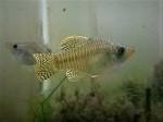 fwkillifish&1539976362 Thumbnail