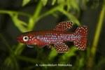 fwkillifish&1558389542 Thumbnail