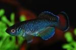 Thumbnail for fwkillifish1569064206