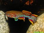 Thumbnail for fwkillifish1569201551