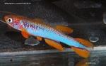 fwkillifish&1581967976 Thumbnail