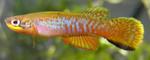 fwkillifish&1581970524 Thumbnail