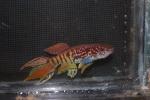 fwkillifish&1582508406 Thumbnail