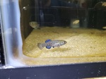 Thumbnail for fwkillifish1586524930