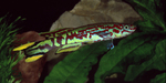 Thumbnail for fwkillifish1591451196