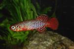 Thumbnail for fwkillifish1593891642