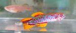 fwkillifish&1600655268 Thumbnail