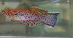 fwkillifish&1600655406 Thumbnail