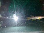 fwkillifish&1600681696 Thumbnail