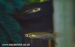 Thumbnail for fwkillifish1608149343
