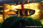 Thumbnail for fwkillifish1608152346