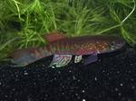 Thumbnail for fwkillifish1611535202