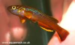 Thumbnail for fwkillifish1618558743