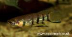 Thumbnail for fwkillifish1618559349
