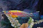 Thumbnail for fwkillifish1618784592