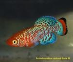 Thumbnail for fwkillifish1621217126