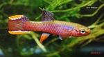 Thumbnail for fwkillifish1621290056