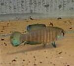 fwkillifish&1624886408 Thumbnail